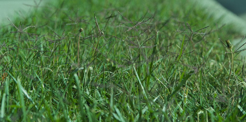 How Do I Get Tall Fescue Out Of My Bermudagrass Nc State Extension